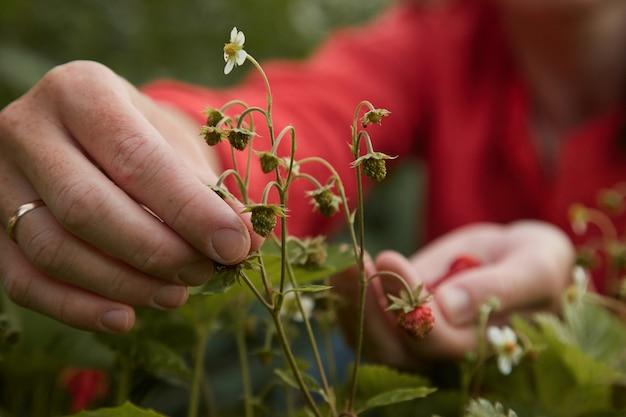 Woman picks strawberries in the garden