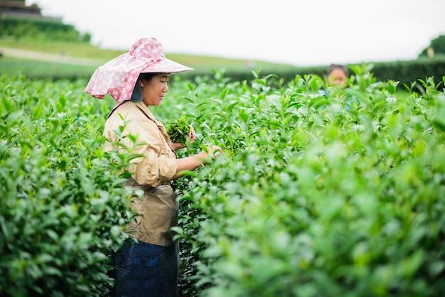 Woman picks tea despite ongoing labor strikes in chiang rai, thailand.