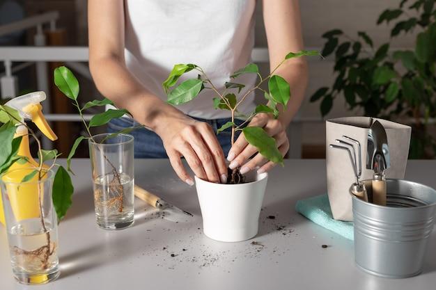 白い鉢に若い観葉植物を植える女性