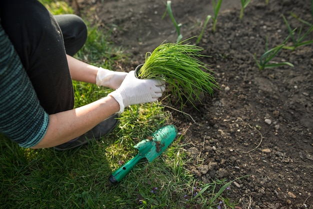 Woman planting chive at her huge garden during lovely spring season, gardening concept