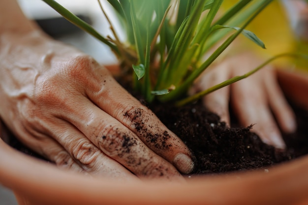 Woman planting a flower in a pot in a garden. closeup of the female hands putting flower into the soil. home gardening and botanic concept.