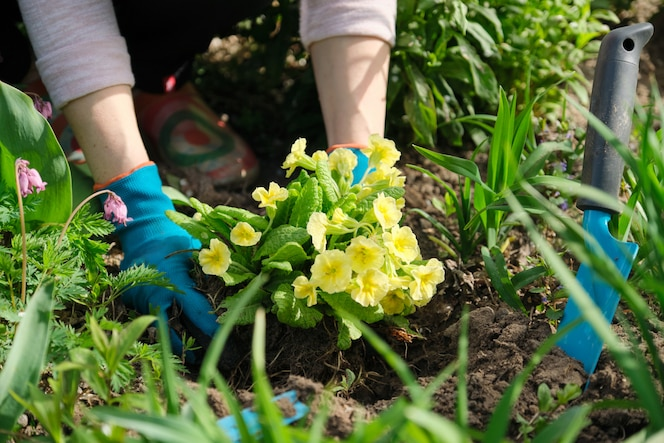 Woman planting primula flowers in spring garden