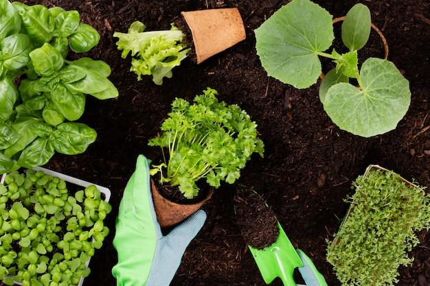 家庭菜園でレタスのサラダの苗を植える女性。