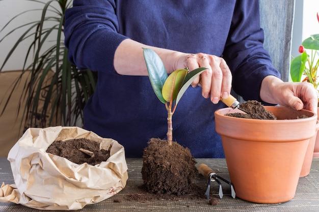 새로운 갈색 항아리에 ficus 꽃을 다시 심는 여성, 집에서 관엽식물 이식