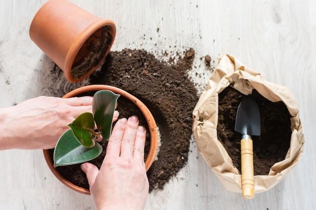새로운 갈색 항아리에 ficus 꽃을 심는 여성, 집에서 관엽 식물 이식