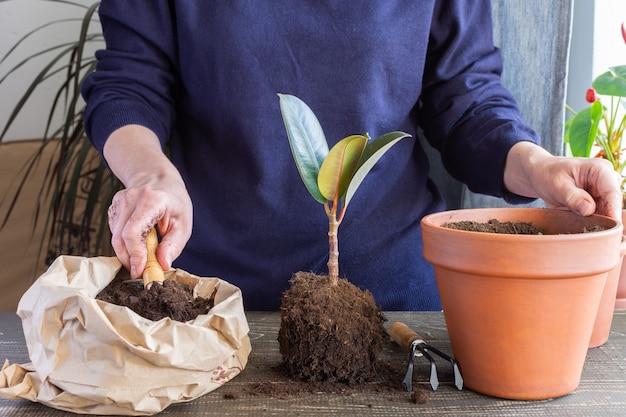 新しい茶色の土鍋にイチジクの花を植え直す女性、自宅での観葉植物の移植
