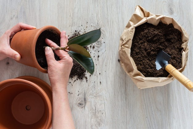 Woman replanting ficus flower in a new brown clay pot, the houseplant transplant at home