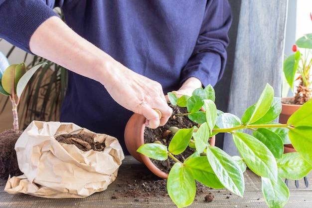 新しい茶色の土鍋にザミオクルカスの花を植え替える女性、自宅で観葉植物の移植