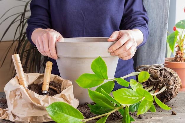新しい茶色の土鍋にザミオクルカスの花を植え直す女性、自宅での観葉植物の移植