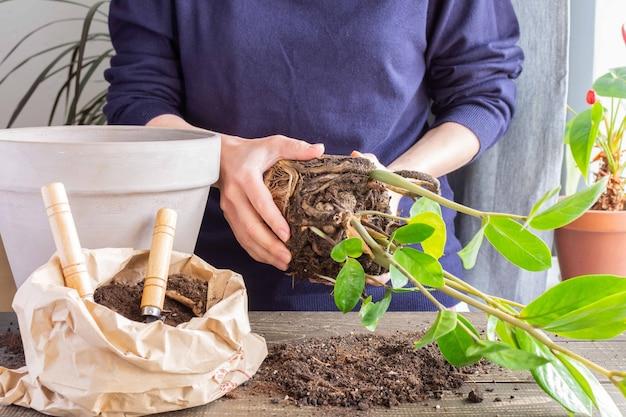 새로운 갈색 항아리에 자미오쿨카스 꽃을 다시 심는 여성, 집에서 관엽식물 이식