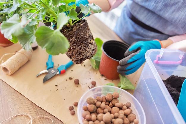 女性は、大きな鉢に観葉植物の花のペラルゴニウムを植え替え、根のある土の塊のクローズアップをします。屋内鉢植えの栽培と手入れ。趣味とレジャー、家庭菜園