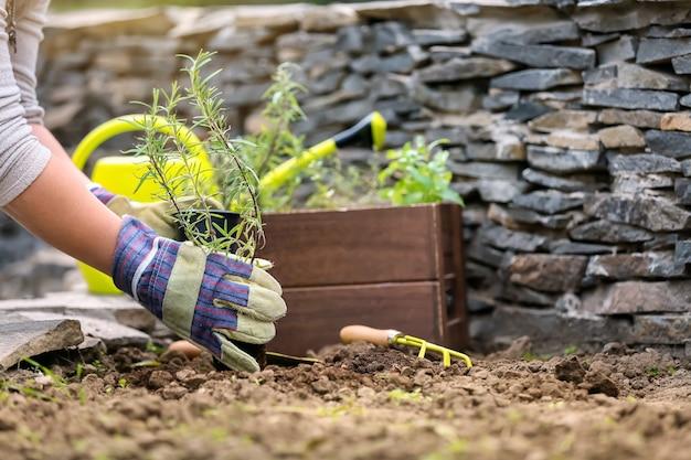 屋外で新鮮なローズマリーを植え替える女性