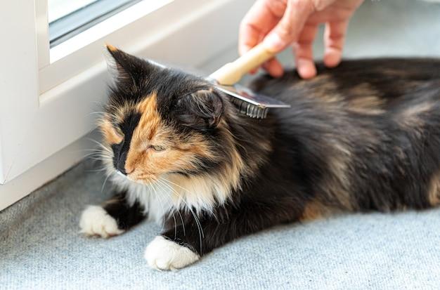 金属のブラシで灰色のくず国産長髪の3色の喜ばれる猫の窓辺に横たわっている女性の手櫛。好きなペット。ペットの世話。