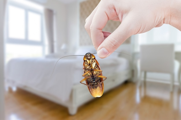 Woman's hand holding cockroach on bedroom, eliminate cockroach in bedroom