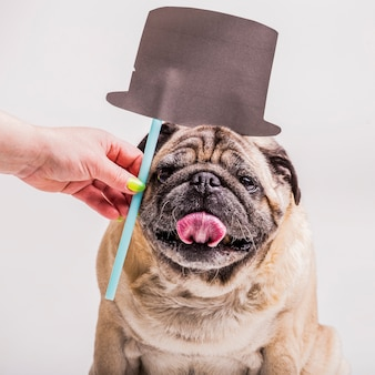 Woman's hand holding hat prop over the pug dog's head