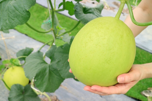 Woman's hand holding an unripe honeydew melon in the greenhouse
