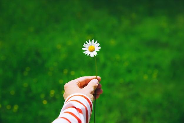 Женская рука держит белую ромашку на фоне зеленой природы