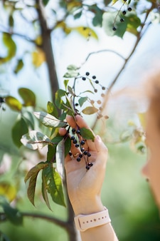 A woman's hand is holding branch of bird-cherry tree with black berries