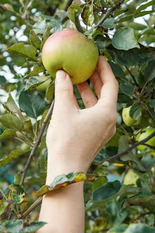 Женская рука, собирающая яблоко. женская рука тянется к яблоку в саду.