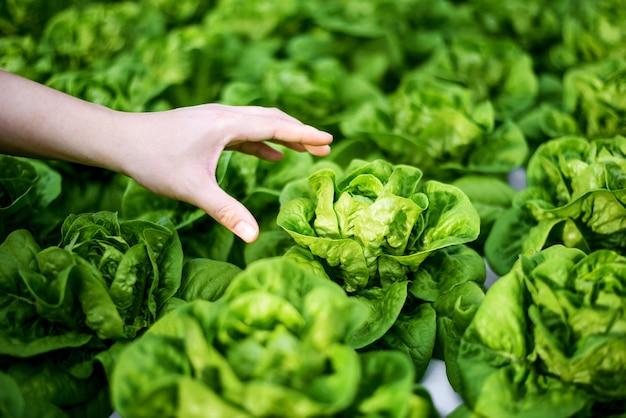 야채 수경 농장에서 녹색 버터 상추를 따는 여성의 손