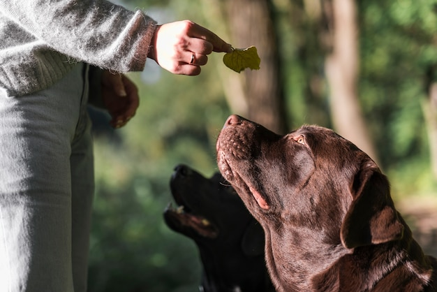 Woman's hand showing leaf to her two labradors in park
