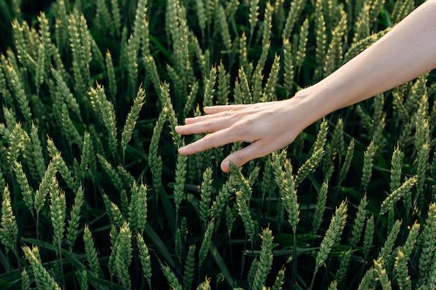 여자의 손은 들판에 있는 젊은 밀의 꼭대기를 친다. 아름다움과 건강. 얼굴과 몸 관리. 화장품 산업의 성분. 헤어 케어 천연 화장품. 미용실. 산화 방지제.