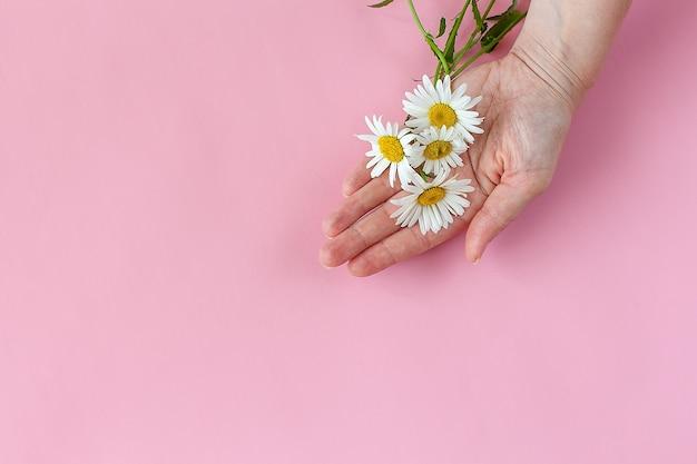 분홍색 배경에 격리된 카모마일을 가진 여자의 손. 피부 손 관리.