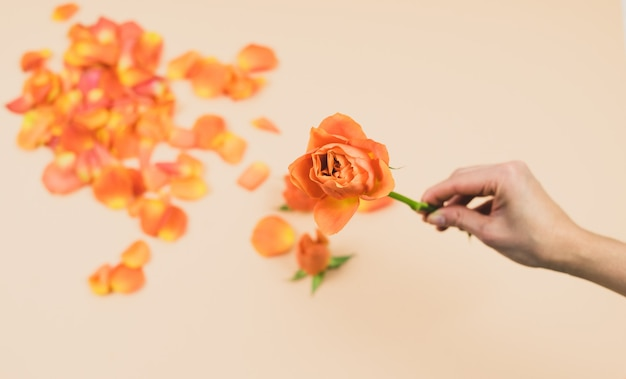 Woman's hand with orange rose on a pink background with orange rose petals. spring concept. copy space.