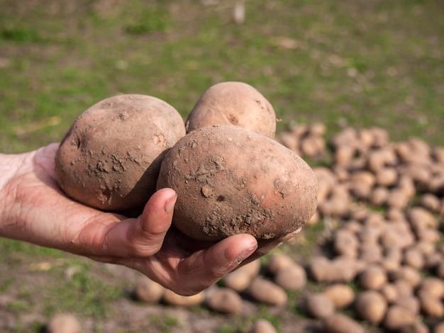 ジャガイモと女性の手、クローズアップ。