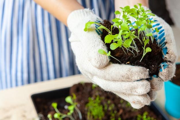 コンテナに土や土を入れた鉢に芽キャベツを植える女性の手