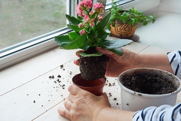 Женские руки пересаживают домашнее растение в новый горшок