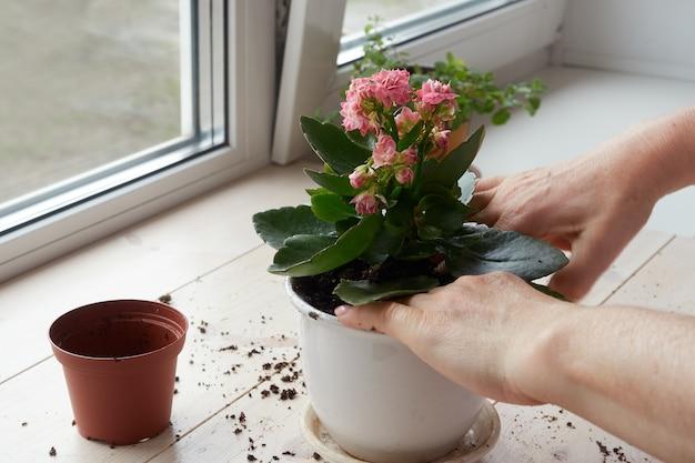 女性の手は家の植物を新しいポットに移植します