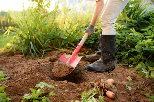 Woman shod in boots digs potatoes in her garden.