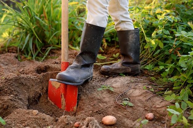 Woman shod in boots digs potatoes in her garden.