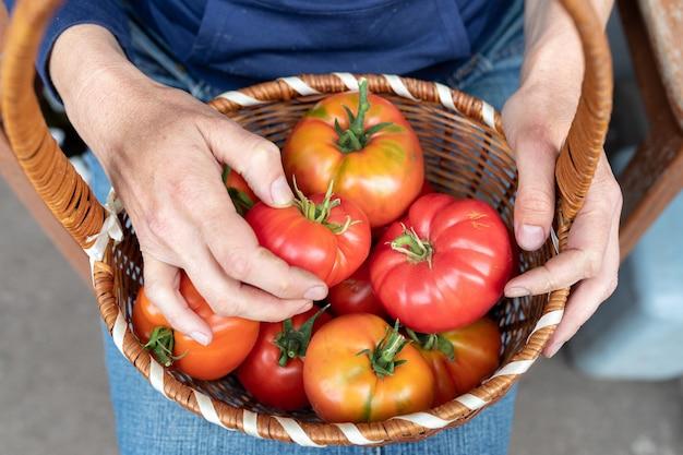 女性は成長したトマト作物を示しています。老婦人の手にある完熟トマトのバスケット。農業の概念。上面図
