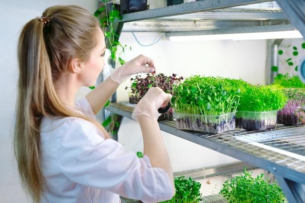 Microgreens에 물을 분사하는 여자. 작은 마이크로 그린 농장.