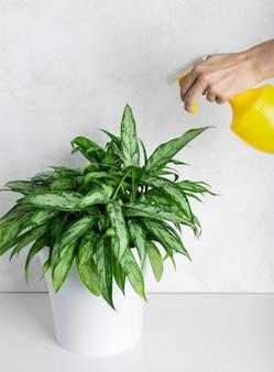 여자는 스프레이 병에서 깨끗 한 물으로 관엽 식물 aglaonema를 스프레이. 관엽 식물 관리. 선택적 초점.