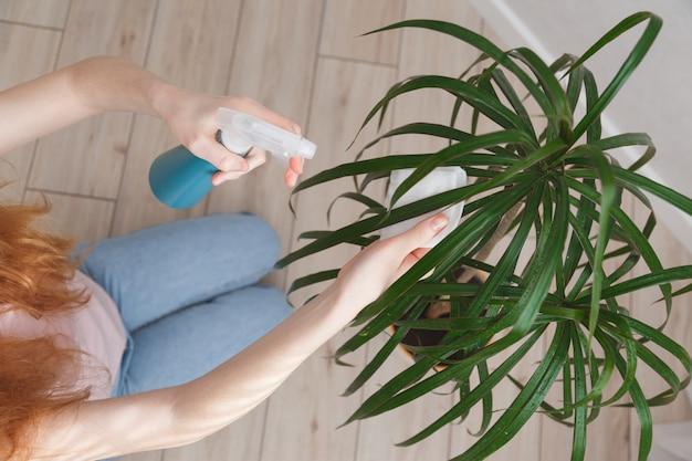 女性はドラセナの葉に水を噴霧し、それらを拭きます。観葉植物の栽培と世話の概念