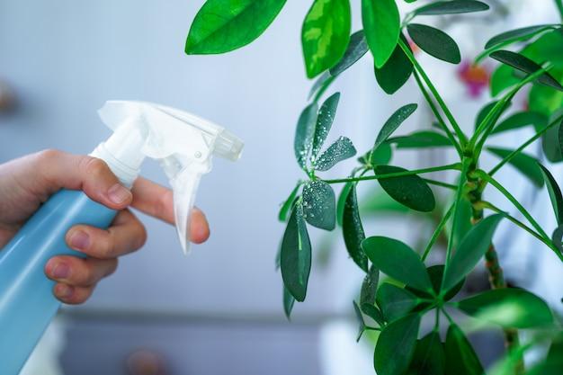 女性は植木鉢に植物をスプレーします。主婦が自宅で家の植物の世話をし、家の植物にスプレーボトルから純水を噴霧する