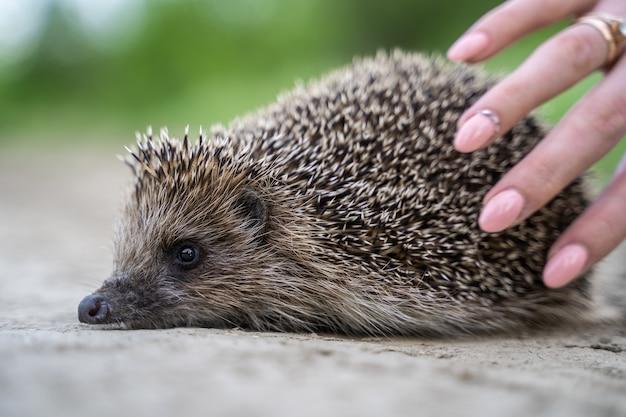 Woman stroking a hedgehog close-up