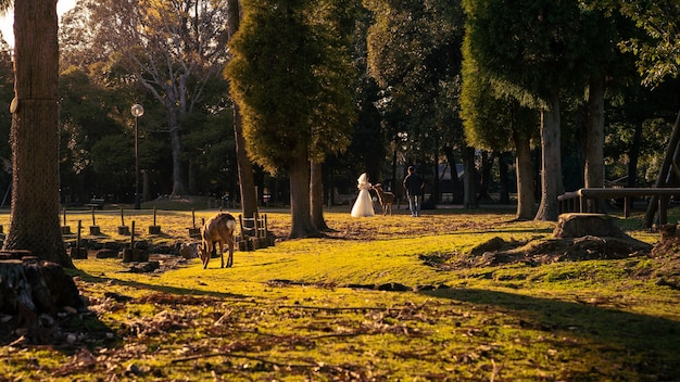 Woman take wedding pictures with beautiful white dress and wild deer in a japanese nara park during spring season. sika cervus nippon in japan