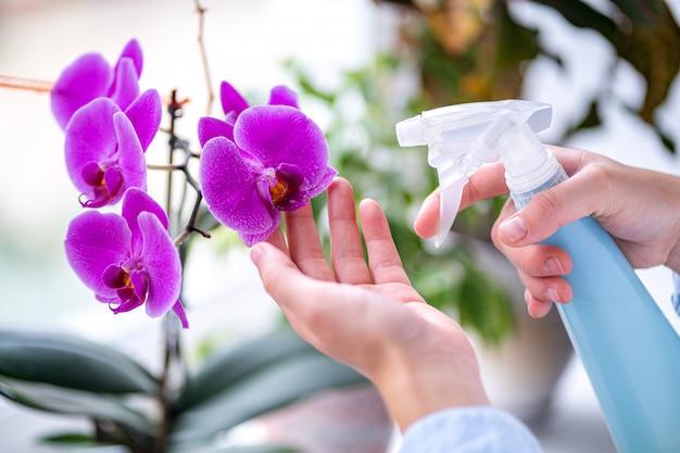 蘭の花にスプレーボトルからの純粋な水を噴霧、彼女の家で家の植物の世話をする女性