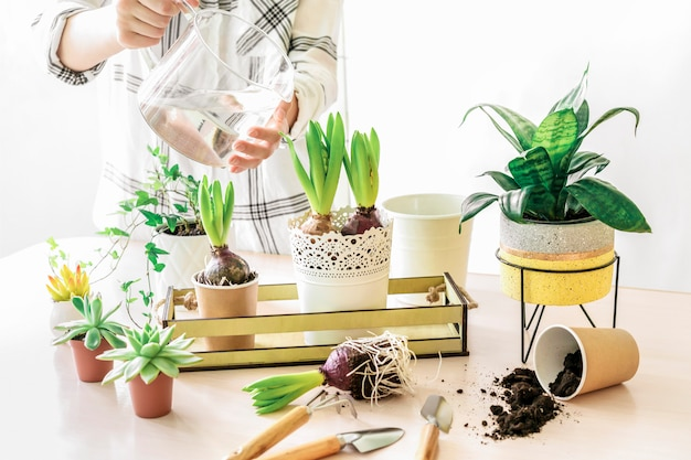 Woman taking care of various home plants, watering and repoting hyacinth in metal and concrete pot on wooden table. home gardening and planting concept. spring time.