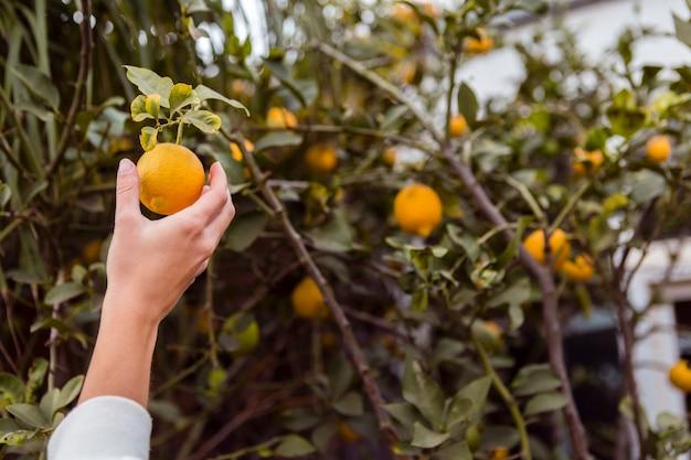 レモンの木からレモンを取る女性