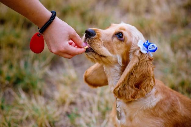그녀의 작은 개, 코커 스패니얼 품종 강아지, 야외, 공원에서 훈련하는 여자.