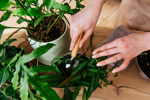 Woman transplaning plants indoor close up view of hands
