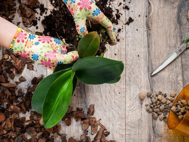 蘭の植物を移植する女性