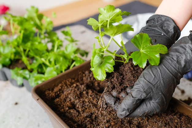 Woman transplanting pelargonium or plant into the bigger pot planting flowers at home on the balcony