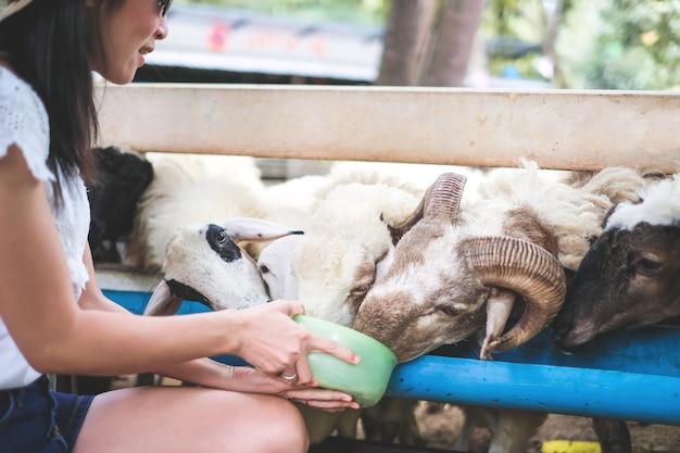 女性旅行者は休暇中の農場で羊のための食糧を与える。