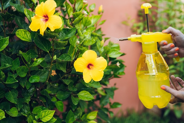 Woman using a sprayer with antiaphid liquid to hibiscus